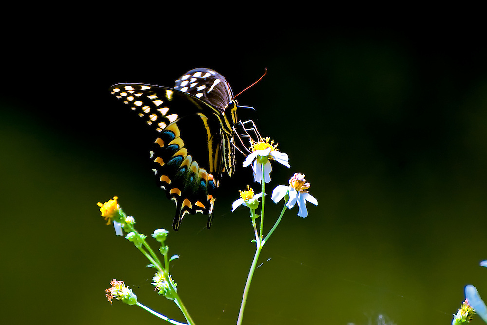 Palamedes swallowtail on a hot summer day in the Corkscrew Swamp of Collier County, Florida.