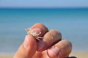 Israel. Haifa, Dado Beach, Ghost crab, (also called sand crab)