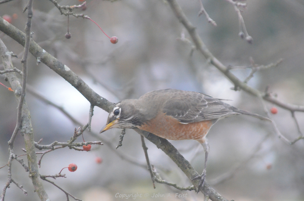This robin was sitting on a branch outside my window trying to decide which berry to eat first.  Hillsborough, NJ