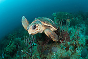 A pair of female Loggerhead Sea Turtles, Caretta caretta, swim over the Breakers Reef in Palm Beach County, Florida, United States.