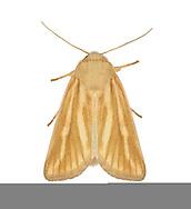 73.143 (2378)<br /> Brighton Wainscot - Oria musculosa