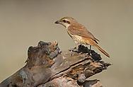 Brown Shrike - Lanius cristatus