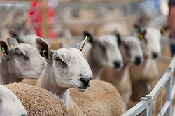 © Licensed to London News Pictures. 22/09/2019. Llanelwedd, Powys, Wales, UK. Blue Faced Leicester rams wait in their pens for tomorrows auction. Inspection and show events take place on the eve of the NSA (National Sheep Association) Wales & Border Ram Sale at the Royal Welsh Showground in Powys, Wales, UK. Two NSA Wales & Border Ram Sales are held each year: An early one in August and the main one in September. Around 4,500 rams from about 30 breeds will be on sale. Photo credit: Graham M. Lawrence/LNP