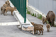 Wild boar sows and piglets roam the streets of Haifa, Israel, April 09, 2021. Several neighborhoods in the northern Israeli city are being visited by families of wild boars. Many of the animals felt safer to come out of the Carmel woods surrounding the city in search for food, as most people were confined to their homes due to covid-19 lockdowns. As Israel slowly returned to normal life, following a large scale vaccination operation, human and animal encounters became more and more common.