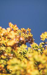 THEMENBILD - herbstlich verfärbte Blätter eines Baumes aufgenommen am 29. September 2019 in Saalfelden, Oesterreich // autumn leaves of a tree in Saalfelden, Austria on 2019/09/29. EXPA Pictures © 2019, PhotoCredit: EXPA/ JFK