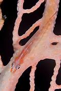 Large whip goby (Bryaninops amplus) on sea fan, Kimbe Bay