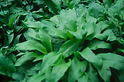 ADD2X9 Ransom plants - wild garlic- showing leaves