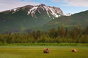 A Brown or Grizzly Bear boar watches sow during mating season, Lake Clark National Park, Alaska.
