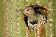 Gilded Flicker - Colaptes chrysoides - juvenile