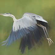 Great blue heron takes flight. Painted effects blended with original image.