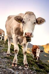 THEMENBILD - eine Kuh auf einer Almwiese, aufgenommen am 31. August 2019, Hinterglemm, Österreich // a cow on an alpine meadow on 2019/08/31, Hinterglemm, Austria. EXPA Pictures © 2019, PhotoCredit: EXPA/ Stefanie Oberhauser