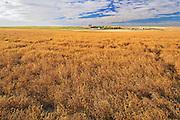 Lentils. Red<br /> Carmichael<br /> Saskatchewan<br /> Canada