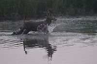 Père David's deer, or Milu, Elaphurus davidianus, running through the water of the Yangtze river in the  Hubei Tian'ezhou Milu National Nature Reserve, Shishou, Hubei, China