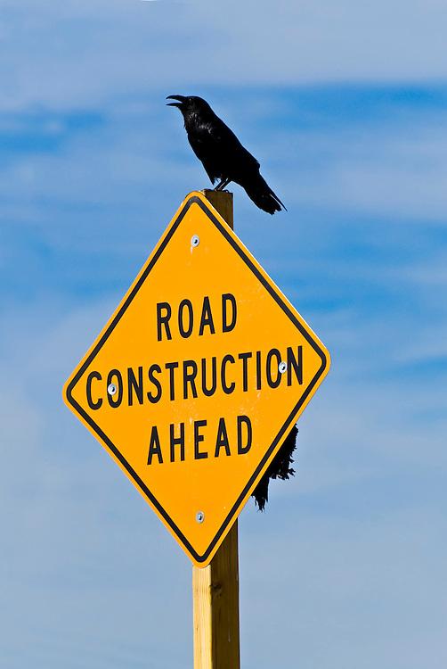 USA , Kalifornien Highway, Ein Rabe sitzt mit offenem Schnabel auf einen Verkehrsschild  mit dem Hinweis auf eine nahende Baustelle        | USA, California, A raven sits on a traffic sign, that gives a hint of upcoming road constructions. road construction or roadworks ahead |