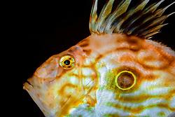 John Dory, Zeus faber, displaying defensive behavior by lifting dorsal fin ( note a large ocellated spot/ false eye-spot ), Osezaki, Izu Peninsula, Japan, Pacific Ocean