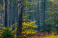 Misty beech forest at early autumn
