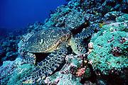 Eastern Pacific green ( black ) sea turtle, Chelonia mydas agassizi, feeding on green algae, Caulerpa sp., Darwin Island, Galapagos, Ecuador ( Eastern Pacific )