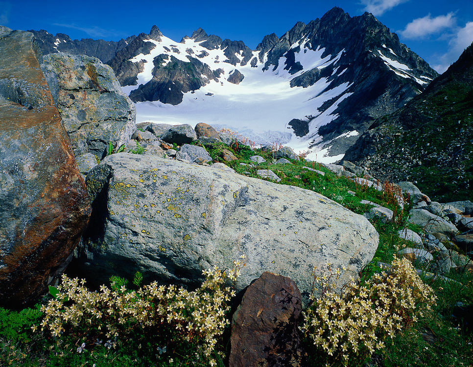 Mount Anderson, saxifrage wildflowers, near Anderson Pass, Olympic National Park, Washington, USA