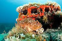 Scorpionfish (Scorpaena porcus) lying on the artificial reef, Larvotto Marine Reserve, Monaco, Mediterranean Sea<br /> Mission: Larvotto marine Reserve