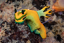 A colorful nudibranch, Tambja olivaria, browses on a sponge-covered substrate. Malapascua Island, Visayan Sea, Philippines, Pacific Ocean
