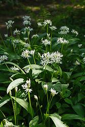 Daslook, Allium ursinum