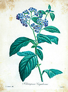 19th-century hand painted Engraving illustration of a garden heliotrope (Heliotropium arborescens syn Heliotropium corymbosum) the flower, by Pierre-Joseph Redoute. Published in Choix Des Plus Belles Fleurs, Paris (1827). by Redouté, Pierre Joseph, 1759-1840.; Chapuis, Jean Baptiste.; Ernest Panckoucke.; Langois, Dr.; Bessin, R.; Victor, fl. ca. 1820-1850.