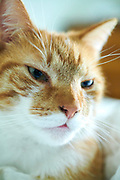 Orange and white domestic cat is watching you.
