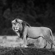 """Scarface """"Scar"""" is to many the most famous lion in the Maasai Mara, Kenya, Africa. In the early morning he greeted us as we left on our game drive. Who can miss this distinctive cut across eye?<br /> <br /> For all details about sizes, paper and pricing starting at $85, click """"Add to Cart"""" below."""