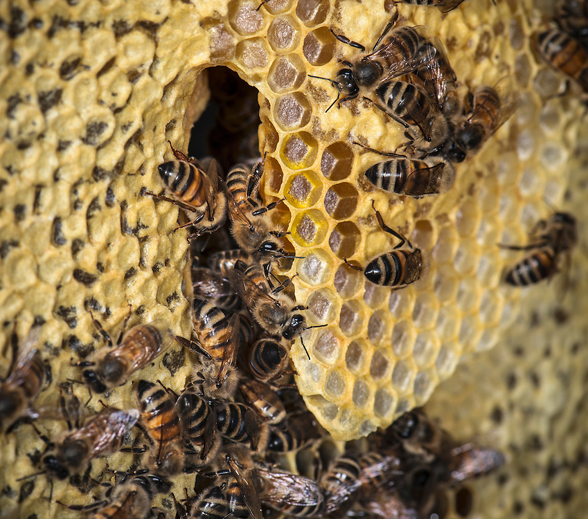 European honey bee (Apis mellifera), making honeycomb, Captive,  credit: Palo Alto JMZ/M.D. Kern