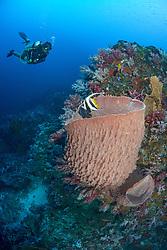 Divemaster Katya Saini approaches a Reef bannerfish,  Heniochus accuminatus, that's hovering near a barrel sponge. Narcondam Island, Andaman Islands, India, MR
