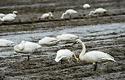 A Trumpeter Swan peers at me while several rest and feed