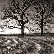 Gnarly oak trees are silhouetted at the edge of a winter corn field. In a few months the tiller will be turning over the ground again. It was worth numb fingers and toes to be out breathing the fresh cold air and looking at the sun, so ineffectively distant.
