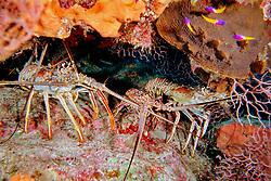 Caribbean spiny lobsters, Panulirus argus, Airport Reef, Cayman Brac, Cayman Islands, Caribbean Sea, Atlantic Ocean