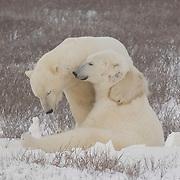 Polar Bear pair at Cape Churchill, Manitoba, Canada.