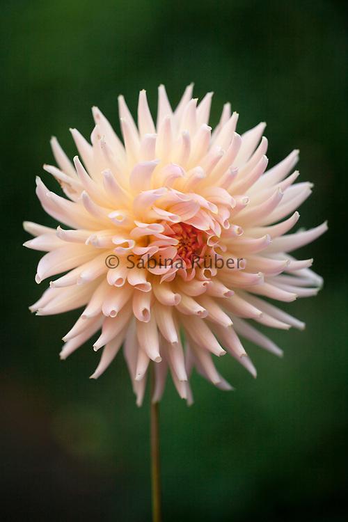 Dahlia 'Henriette' - cactus dahlia