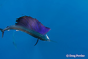 Atlantic sailfish, Istiophorus albicans, is fully lit up in bright colors moments after seizing a Spanish sardine, Sardinella aurita, from a bait ball off Yucatan Peninsula, Mexico ( Caribbean Sea ) #3 in sequence of 3 images