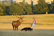 Red deer (Cervus elephus) and woman walking dog and talking on phone. Richmond Park, London. Roehampton Flats in background.