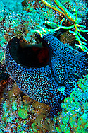 Black ball sponge, Little Tunnels, Grand Cayman