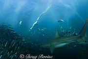 copper sharks or bronze whalers ( Carcharhinus brachyurus ) and cape gannets ( Sula capensis ) feed on a bait ball of sardines or pilchards ( Sardinops sagax ) during the annual Sardine Run off the east coast of South Africa at Mboyti, Transkei or Wild Coast ( Indian Ocean )