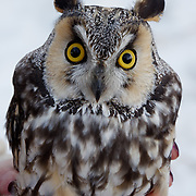 Long-eared owl, captured and ready to be banded. Missoula, Montana