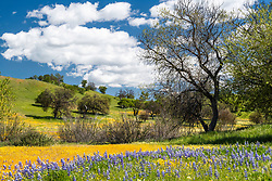 The oaks, widlfowers and rolling hills of Coastal California.   The superbloom can be magnificent east of Santa Margarita at Shell Road and Carrizo Plaines.