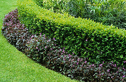 Low box hedge edging bed with Viola labradorica growing at it's base. Buxus