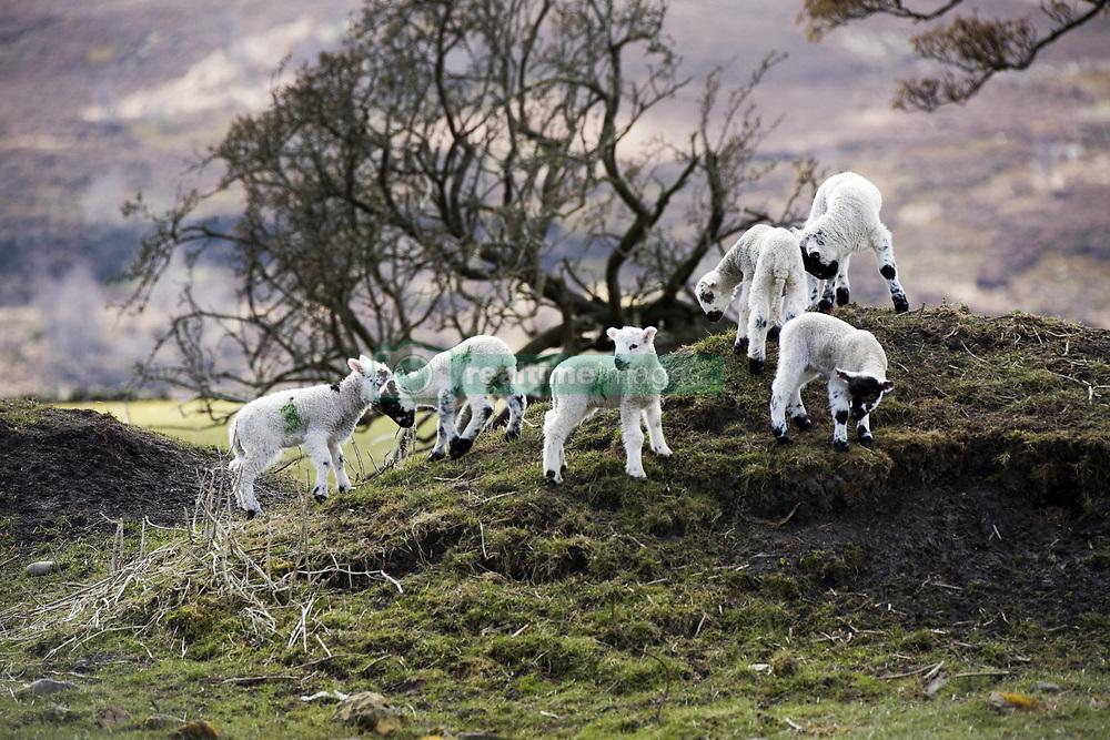 July 21, 2019 - Baby Lambs On A Hill (Credit Image: © John Short/Design Pics via ZUMA Wire)