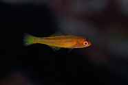 Trimma taylori (Yellow Cave Goby)