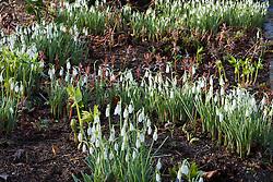 Galanthus 'Atkinsii'. Snowdrop