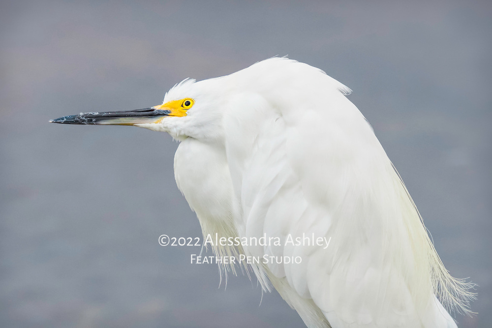 Snowy egret looks up and around while perched over the shallows, patiently waiting for the next meal to make its presence known. Ding Daring NWR, Sanibel Island, FL.
