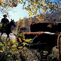 Canada, Saskatchewan, (MR) Cowboys herding fall cattle roundup at Assiniboine Cattle Company in Marchwell