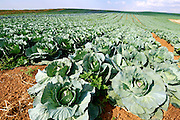 Israel, Negev, cabbage field