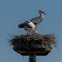 08-04-2020: Nieuws: Stockfotos: Nederland<br />Voorjaar de ooievaars zitten op hun nest