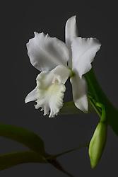 Cattleya, white #8
